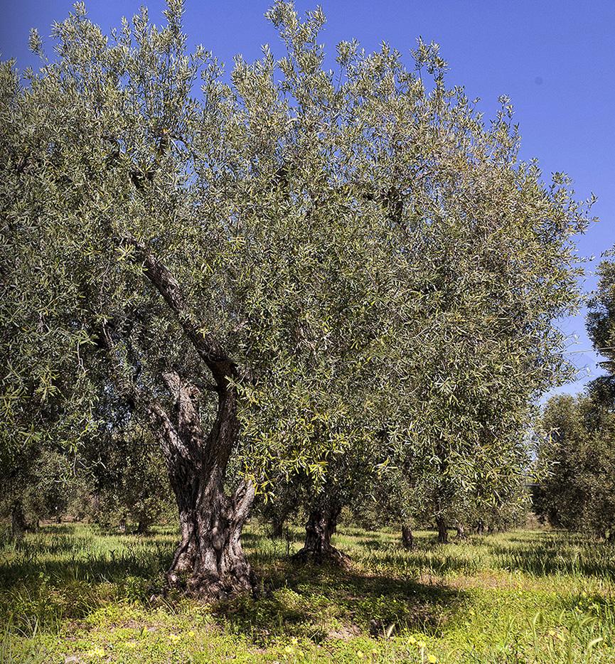 olive di sardegna